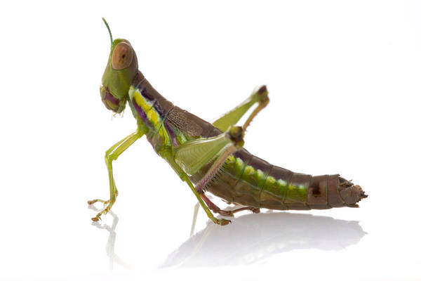 Photograph - Grasshopper Gorongosa Mozambique by Piotr Naskrecki