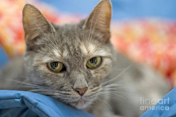 Photograph - Gray Cat On A Blanket by Larry Landolfi