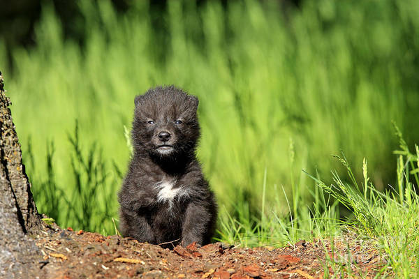 Timber Wolves Photograph - Gray Wolf Cub, Canis Lupus by M. Watson