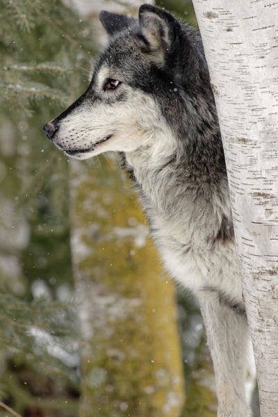 Canis Lupus Photograph - Gray Wolf In Winter, Canis Lupus by Adam Jones