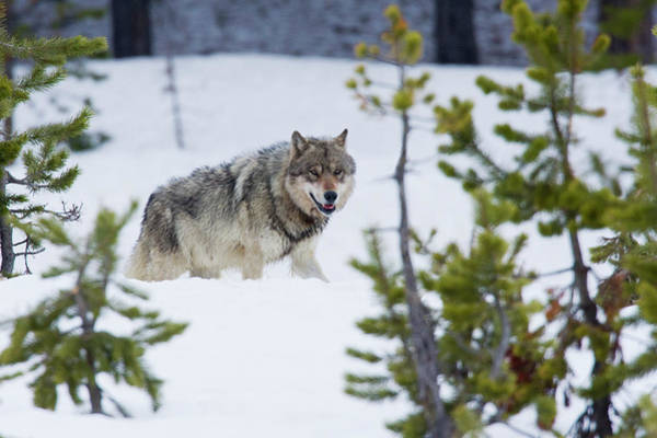 Canis Lupus Photograph - Gray Wolf by Ken Archer