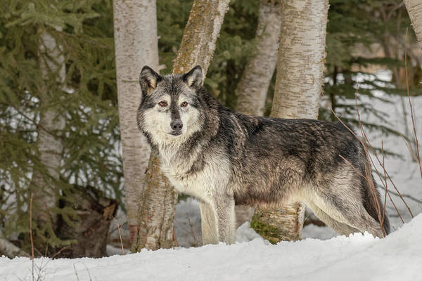 Wall Art - Photograph - Gray Wolf, Montana by Adam Jones