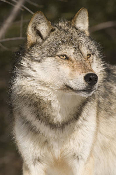 Wall Art - Photograph - Gray Wolf Portrait by Steve Gettle