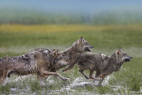 Wall Art - Photograph - Gray Wolf Trio Running Through Water by Tim Fitzharris