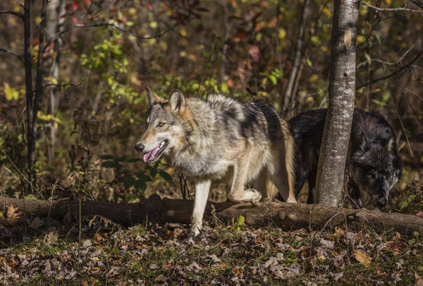 Wall Art - Photograph - Gray Wolves by Linda Arndt