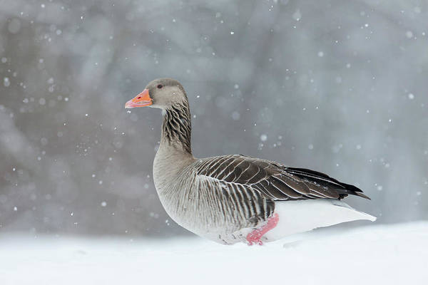 Down Feather Photograph - Graylag Goose (anser Anser by Martin Zwick