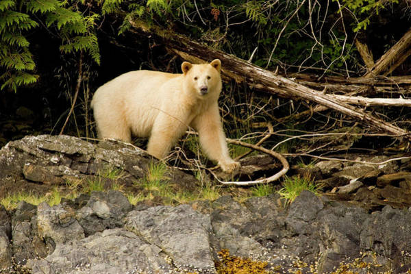 Olympics Photograph - Great Bear Rainforest, British Columbia by Carl D. Walsh