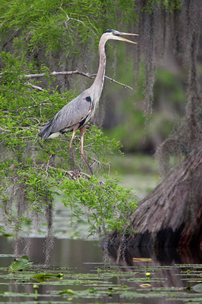 Bald Cypress Wall Art - Photograph - Great Blue Heron (ardea Herodias by Larry Ditto