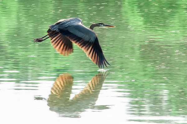 Photograph - Great Blue Heron Flying Abstract Motion by Alex Grichenko