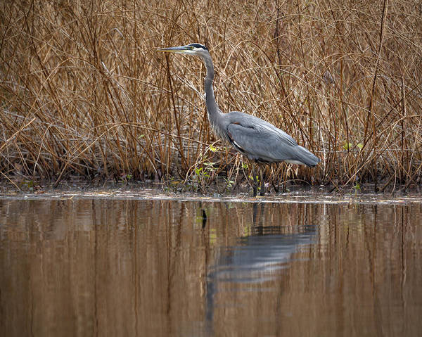 Photograph - Great Blue Heron by Jack R Perry