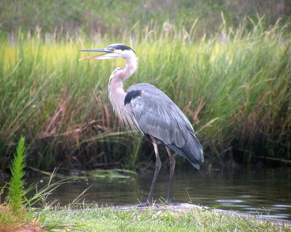 Photograph - Great Blue Heron by Kim Bemis