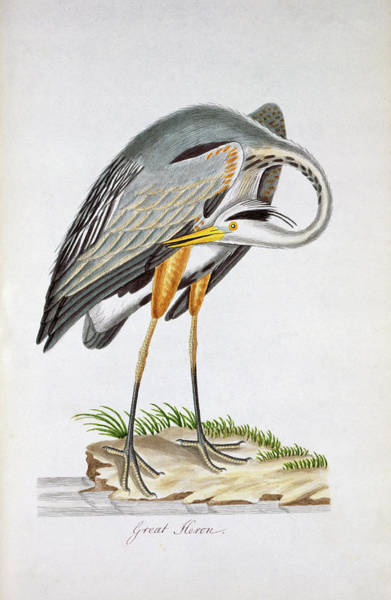 Greater London Photograph - Great Blue Heron by Natural History Museum, London/science Photo Library