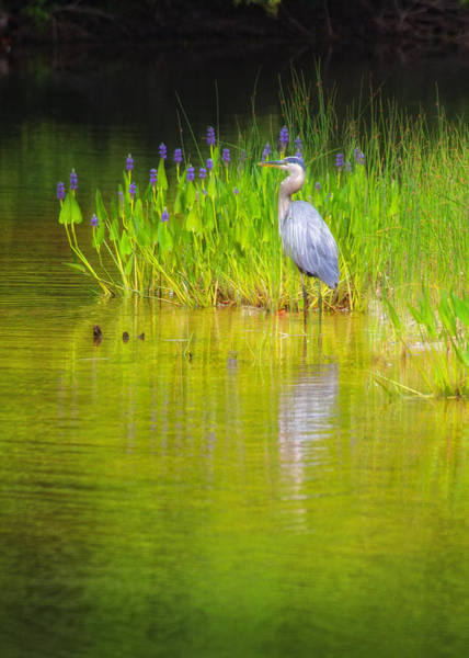 Photograph - Great Blue Heron With Marsh Flowers by Bob Coates