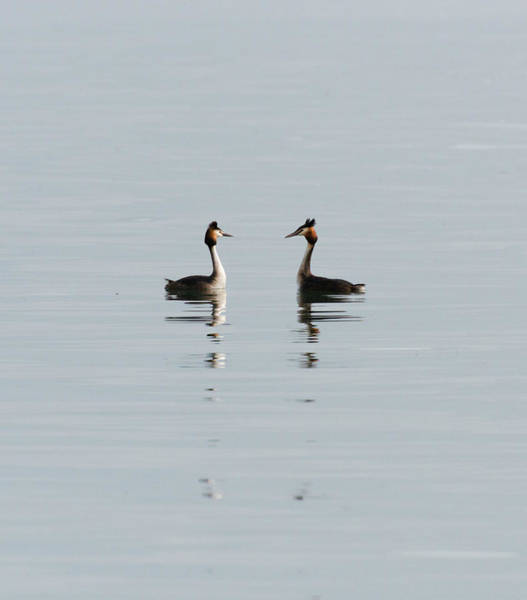 The Great Outdoors Photograph - Great Crested Grebe Courting Pair by Duncan Shaw