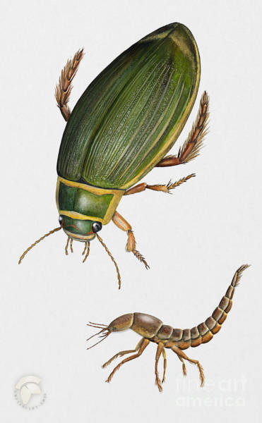 Painting - Great Diving Beetle Dytiscus Marginalis - Dytique Borde - Escarabajo Buceador - Keltalaitasukeltaja by Urft Valley Art