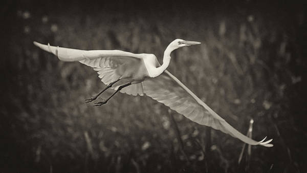 Photograph - Great Egret In Flight by Patrick M Lynch
