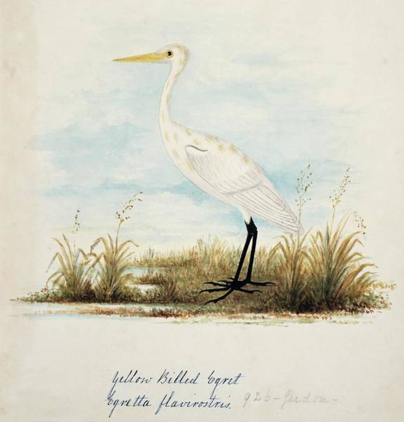 Greater London Photograph - Great Egret by Natural History Museum, London/science Photo Library