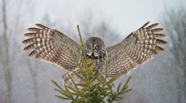 The Great Outdoors Photograph - Great Gray Owl by Copyright Michael Cummings
