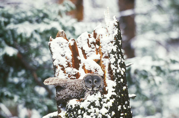 Wall Art - Photograph - Great Gray Owl In Spring Snow by Thomas And Pat Leeson