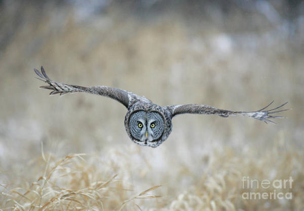 Photograph - Great Gray Owl by Jim Zipp