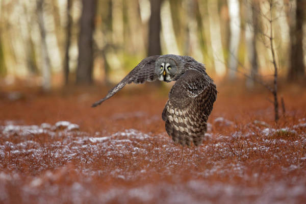 Wall Art - Photograph - Great Grey Owl by Milan Zygmunt