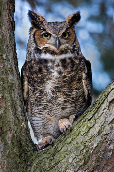 Endangered Photograph - Great Horned Owl by Dale Kincaid