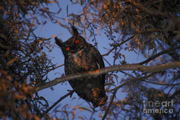 Photograph - Great Horned Owl by Ron Sanford