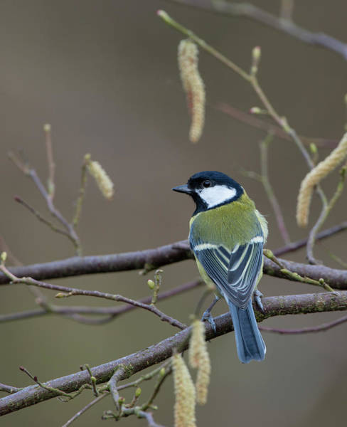 The Great Outdoors Photograph - Great Tit by David Tipling