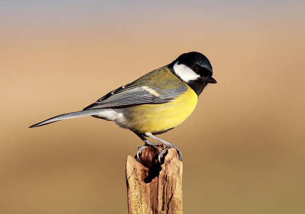 Photograph - Great Tit by Grant Glendinning