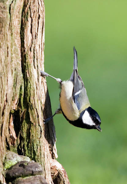 Tit Photograph - Great Tit by John Devries/science Photo Library