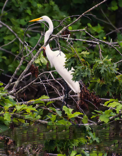 Photograph - Great White Egret by Chris Flees