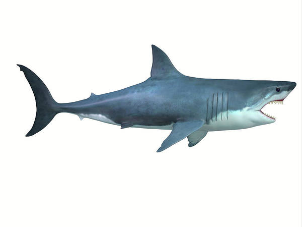 Wall Art - Photograph - Great White Shark, Side Profile by Corey Ford