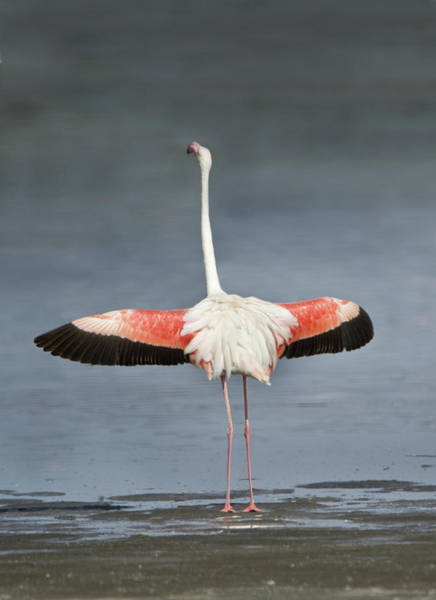 Phoenicopterus Roseus Wall Art - Photograph - Greater Flamingo Phoenicopterus Roseus by Animal Images
