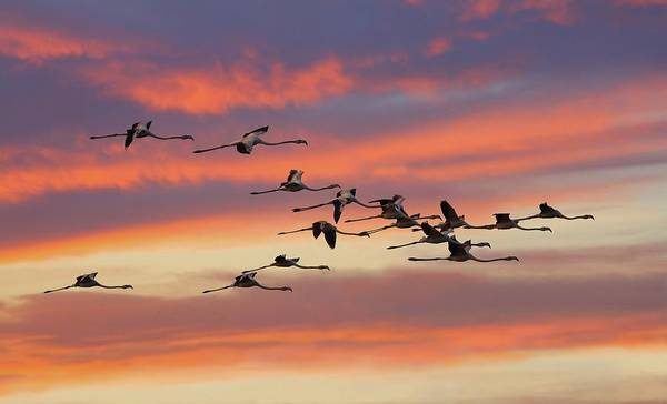 The Great Outdoors Photograph - Greater Flamingo by Zahoor Salmi