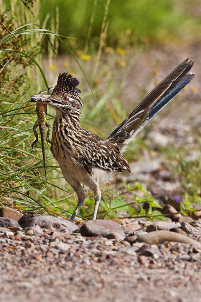 Wall Art - Photograph - Greater Roadrunner (geococcyx by Larry Ditto
