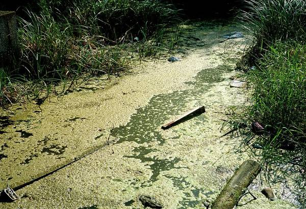 Wall Art - Photograph - Green Algal Bloom In A Pond by Dr Jeremy Burgess/science Photo Library