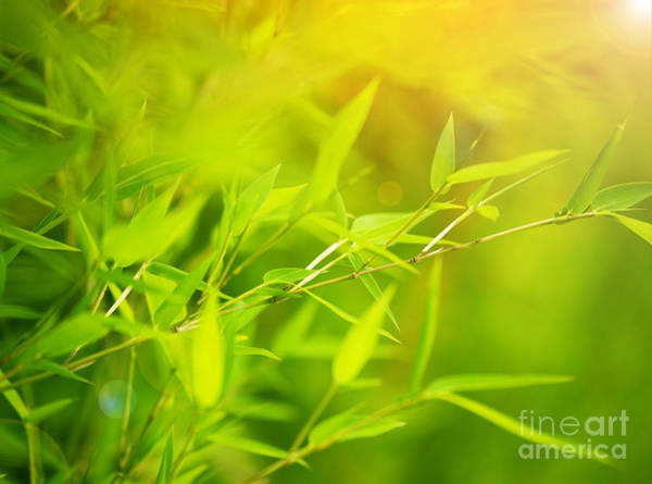 Bamboo Shoots Photograph - Green Bamboo Background by Anna Om