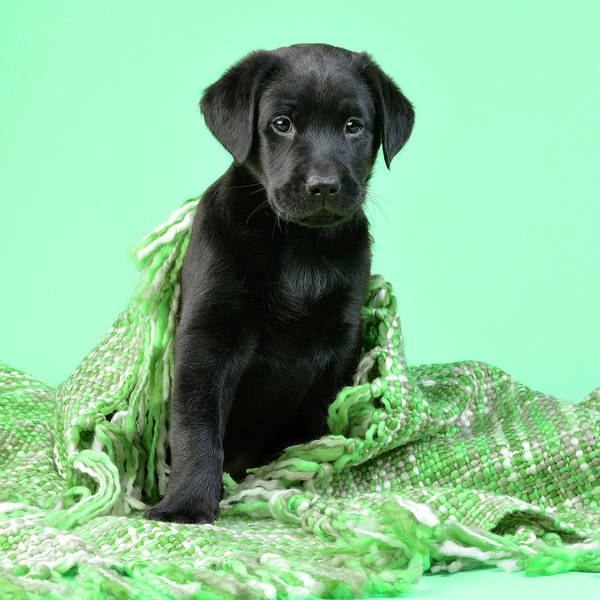 Wall Art - Painting - Green Blanket Puppy by MGL Meiklejohn Graphics Licensing