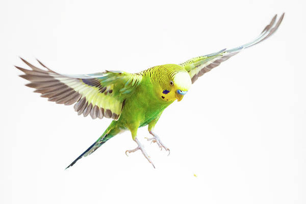 White Horse Photograph - Green Budgerigar In Flight by Wild Horse Photography