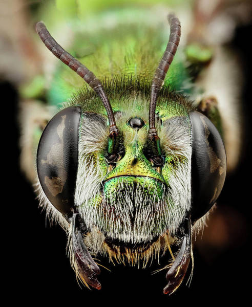 Image Stacking Photograph - Green Burrowing Bee by Us Geological Survey