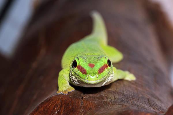 Gecko Wall Art - Photograph - Green Day Gecko by Dr P. Marazzi
