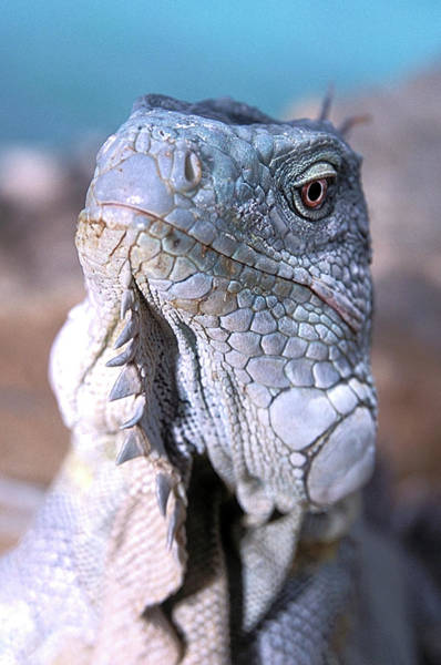 Iguana Photograph - Green Iguana by Clay Coleman/science Photo Library