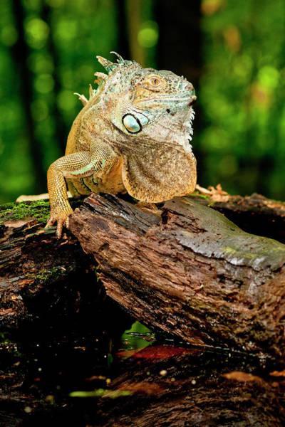 Iguana Photograph - Green Iguana, Iguana Iguana, Native by David Northcott