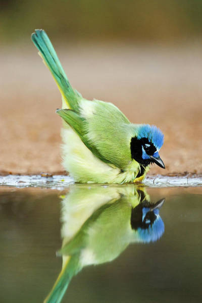 Green Jay Photograph - Green Jay (cyanocorax Yncas by Larry Ditto