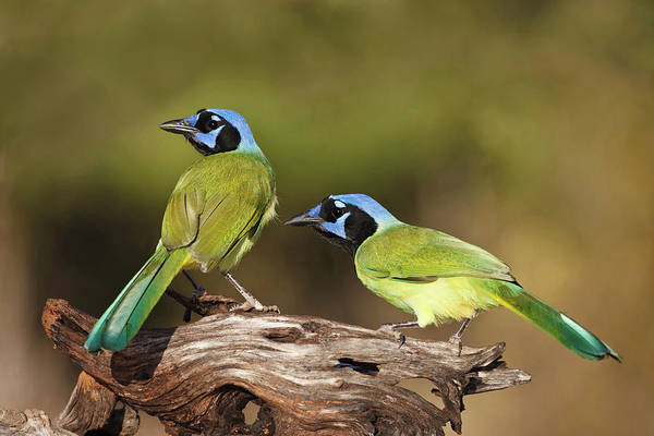 Green Jay Photograph - Green Jays (cyanocoras Yncas by Larry Ditto