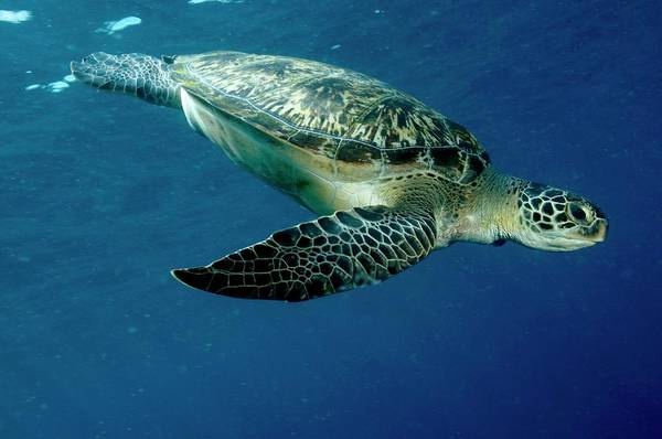 Wall Art - Photograph - Green Sea Turtle by Louise Murray/science Photo Library