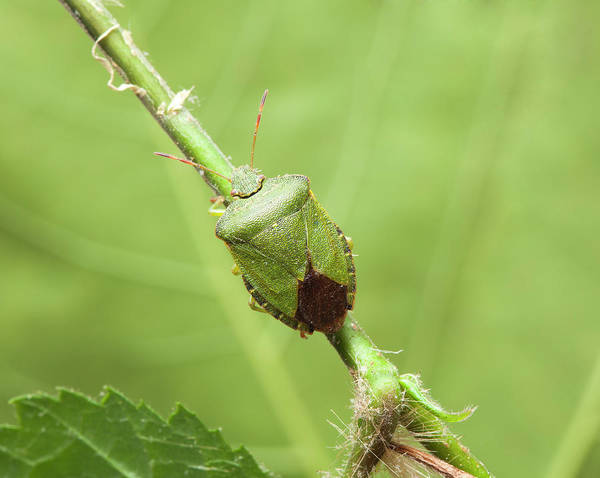 Imago Photograph - Green Shield Bug by Natural History Museum, London