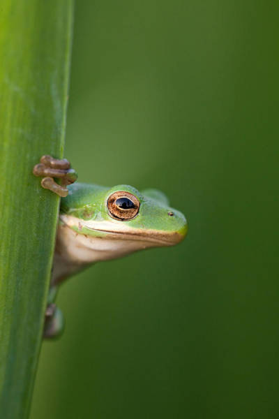 Norco Photograph - Green Tree Frog by Julie Dermansky