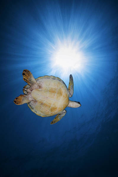 Diving Photograph - Green Turtle by Barathieu Gabriel