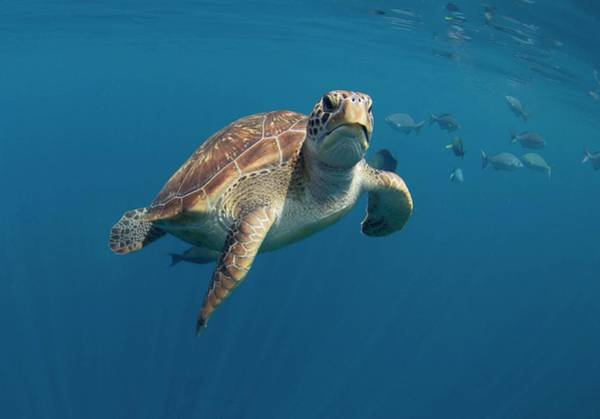 Turtle Photograph - Green Turtle Swimming by Peter Scoones/science Photo Library